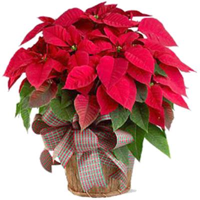 Ordina 00 Rosso Natale online e invia a domicilio