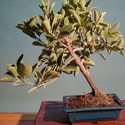 Bonsai Euvonimus