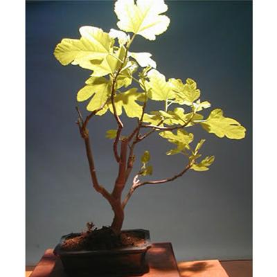 Bonsai Fico Altezza 27 cm