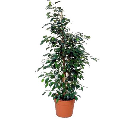 Italia in fiore comprare e inviare fiori online - Piante verdi interno ...