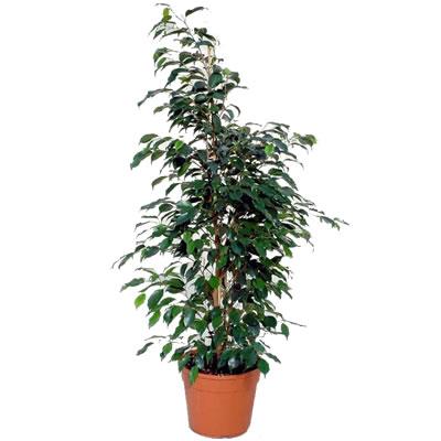 Ordina 20 Ficus online e invia a domicilio