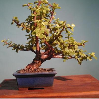 Ordina 01 Bonsai Grassula online e invia a domicilio