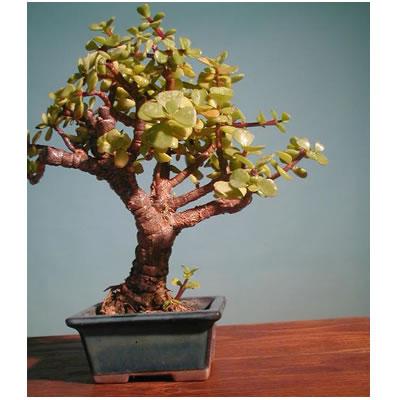 Ordina 02 Bonsai Grassula online e invia a domicilio