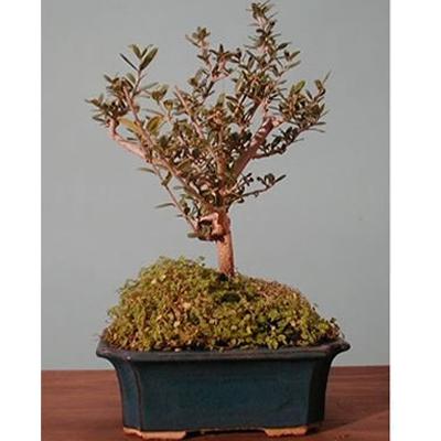 Italia in invia online bonsai olivo for Bonsai comprare