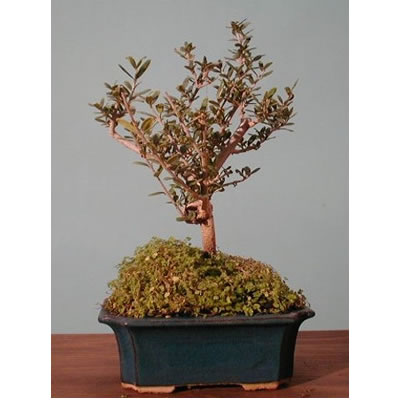 Bonsai olivo vendita e consegna bonsai olivo a domicilio for Vendita on line bonsai