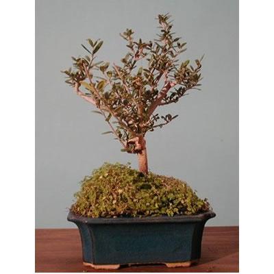 Bonsai consegna gratuita a domicilio con acquisto on line for Acquisto piante olivo