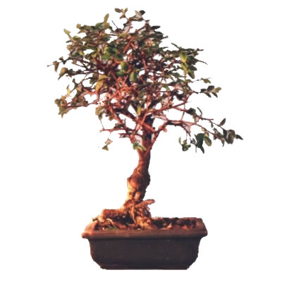 Bonsai olmo altezza 20cm vendita e consegna bonsai olmo for Vendita on line bonsai