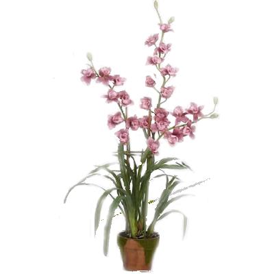Pianta Orchidea Cimbidium