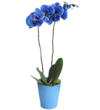 /_public/images/orchidea blu_mini.jpg