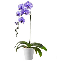 /_public/images/orchidea viola_mini.jpg