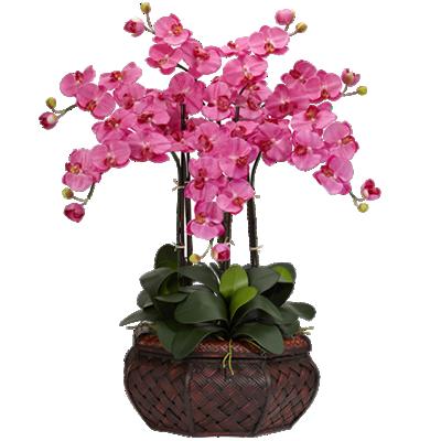 Bellissima Orchidea A 5 Rami