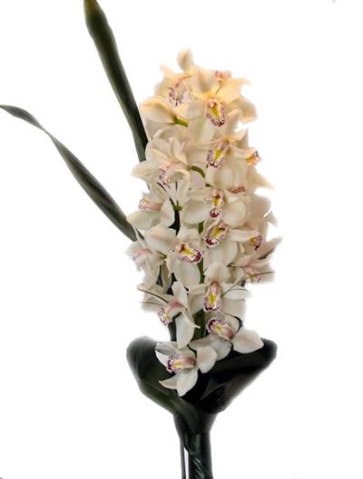 Ordina 01 Orchidea Bianca per la Festa della Mamma online e invia a domicilio