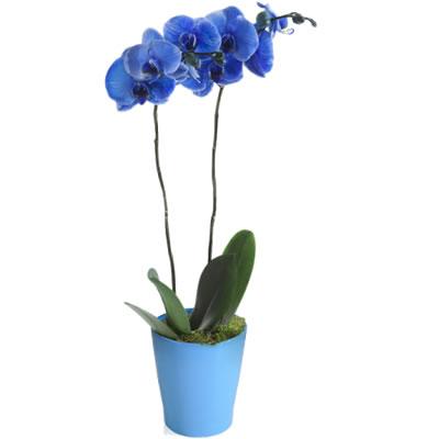 Ordina 02 Orchidea Blu online e invia a domicilio