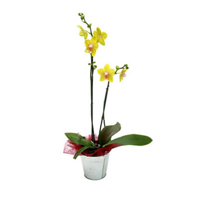 Ordina 02 Orchidea Gialla online e invia a domicilio