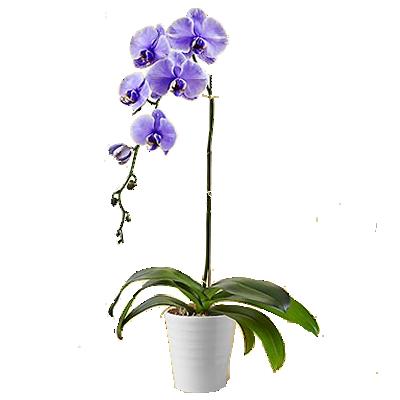 orchidea_viola.png