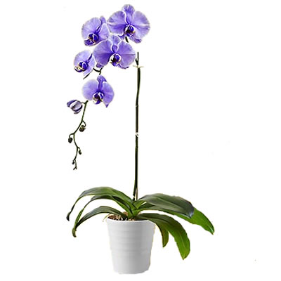 Ordina 02 Orchidea Viola online e invia a domicilio