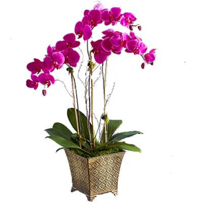 Ordina 03 Orchidea a 03 Rami online e invia a domicilio