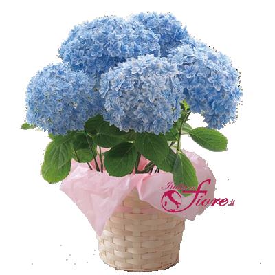Ortensia Blu a 5 Ciuffi