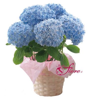 Ordina 01 Ortensia Blu a 5 Ciuffi online e invia a domicilio