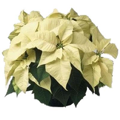 Ordina 00 Bianco Natale online e invia a domicilio