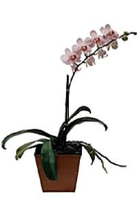 Ordina 03 Orchidea Phalenopsis online e invia a domicilio