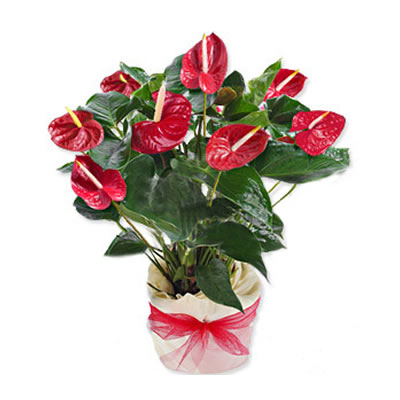 Ordina 06 Anthurium Rosso online e invia a domicilio