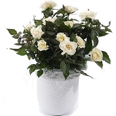 pianta_di_rose.png