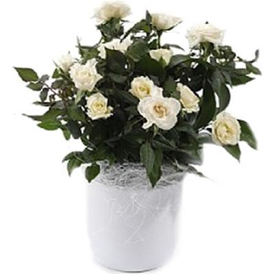 Ordina 00 Pianta di Roselline Bianche online e invia a domicilio