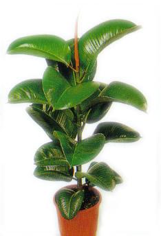Pianta verde da appartamento vendita e consegna pianta for Pianta da pavimento verde