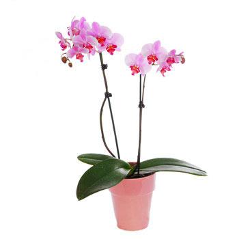 Ordina 29 Orchidea a Due Rami online e invia a domicilio