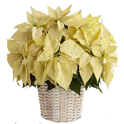 Poinsettia Bianca