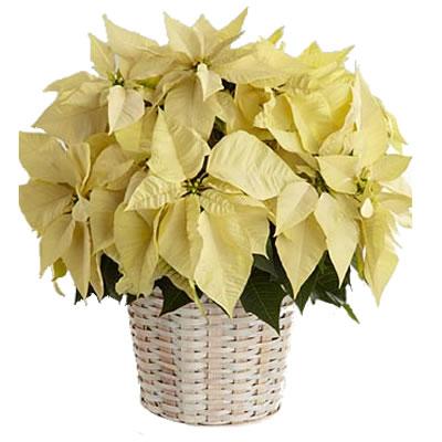 Ordina 01 Poinsettia Bianca online e invia a domicilio