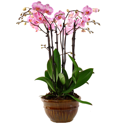 purple_orchid.png