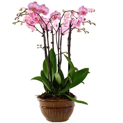 Ordina 03 Purple Orchid online e invia a domicilio