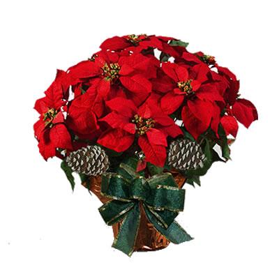 Ordina 00 Stella di Natale online e invia a domicilio