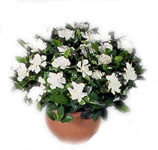 Ordina 01 Gardenia online e invia a domicilio