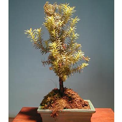 Italia in invia online bonsai tasso for Bonsai comprare