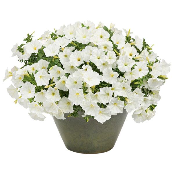 Spedire Consegna Pianta fiorita bianca surfinia