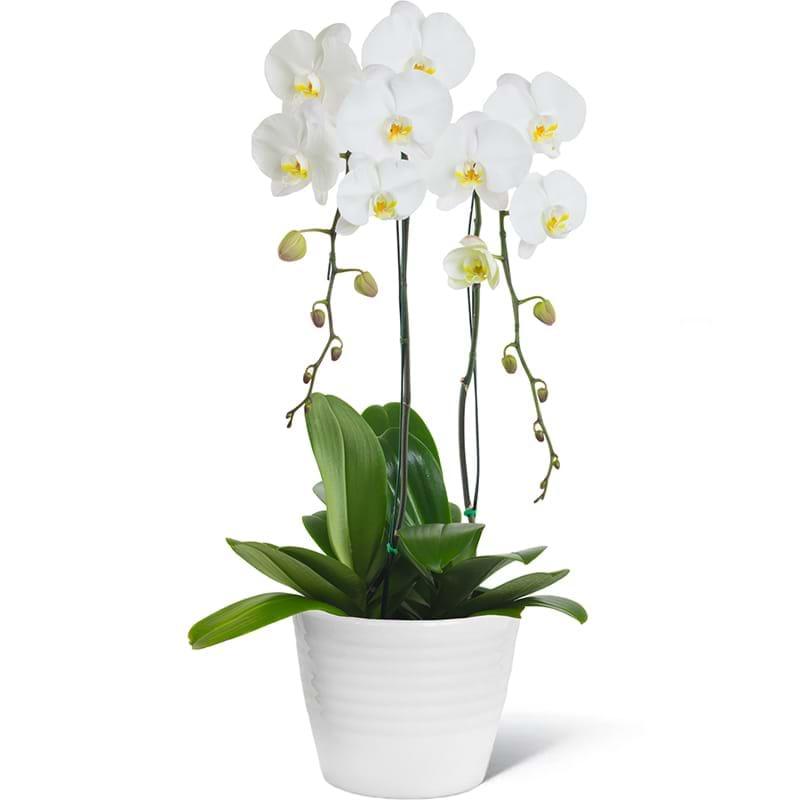 Spedire orchidea bianca