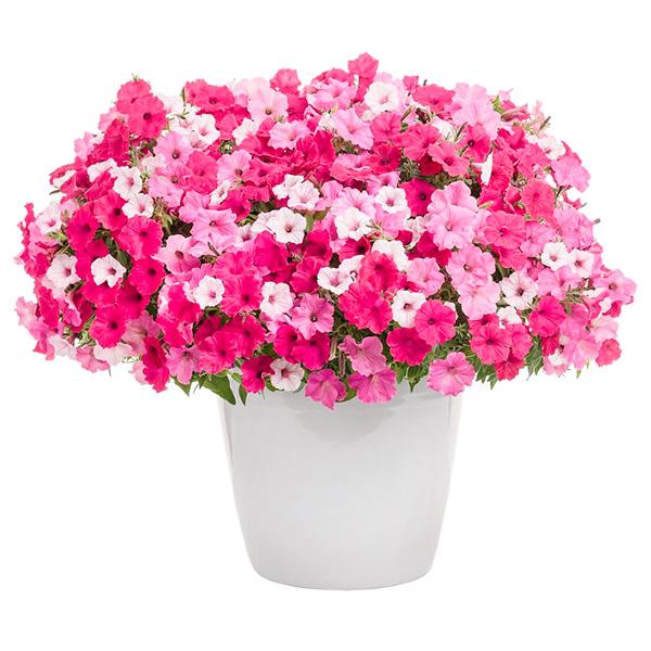 Spedire Consegna pianta fiorita surfinia rosa