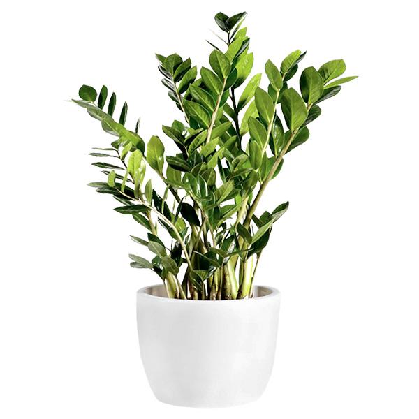 Spedire Inviare pianta zamioculcas