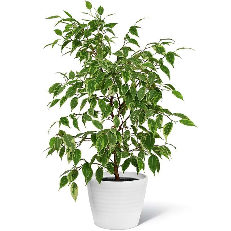 Spedire pianta ficus
