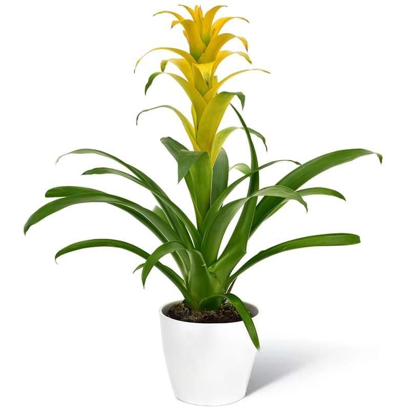 Spedire pianta guzmania