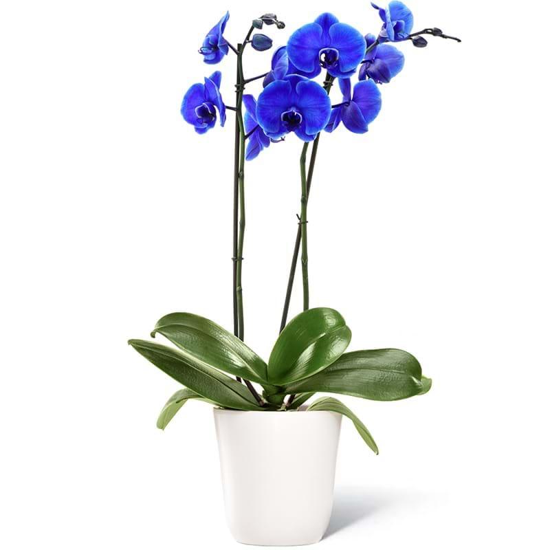 Orchidea blu for Orchidea foglie gialle