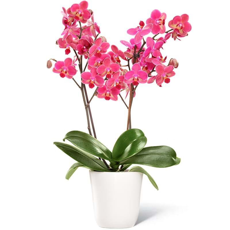 Spedire pianta orchidea a due rami