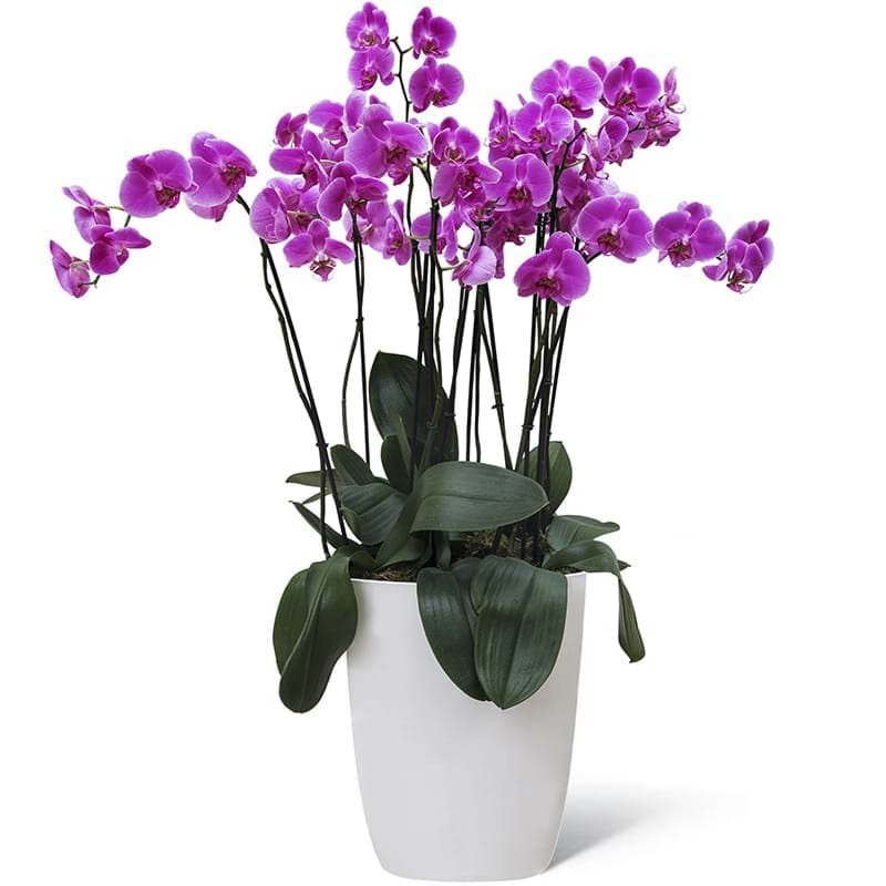 Spedire pianta orchidea grande