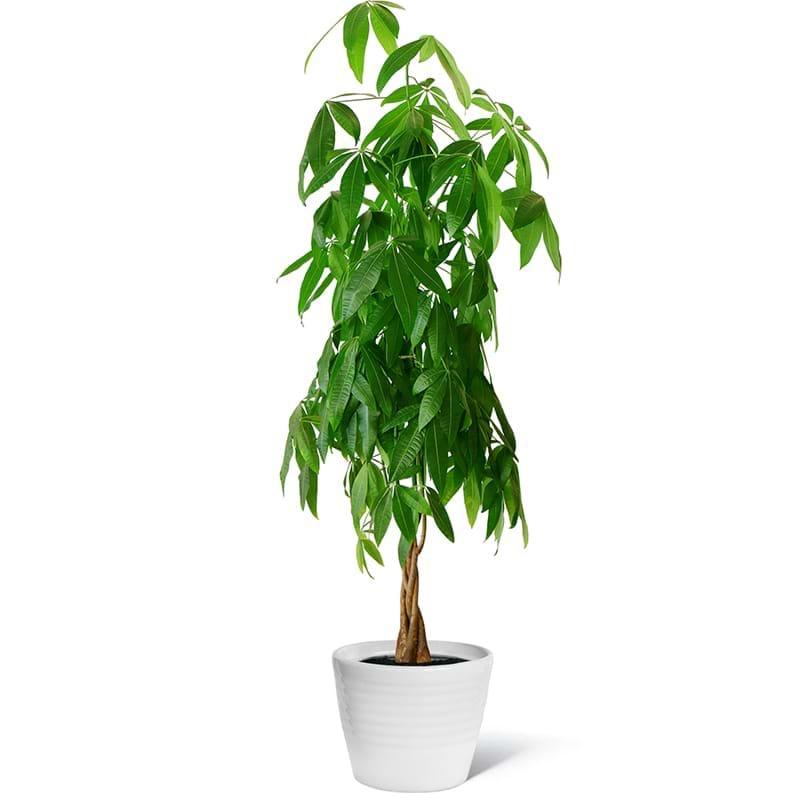Spedire pianta pakira