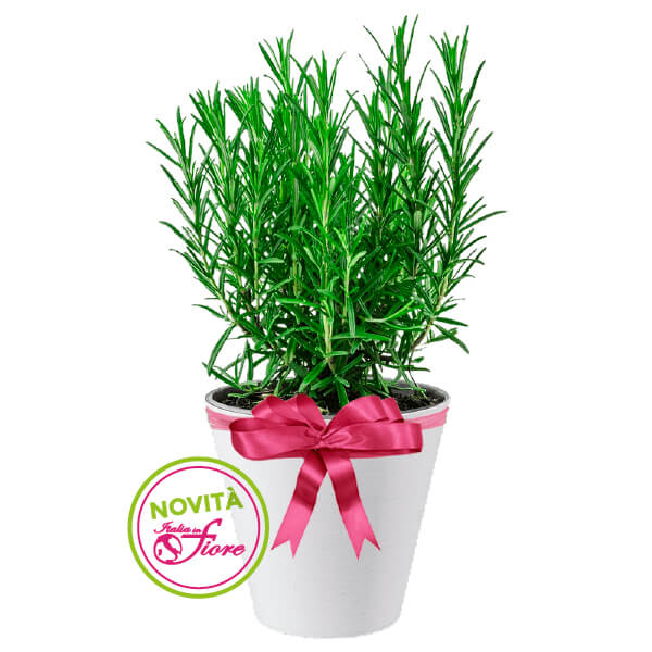 Spedire pianta rosmarino