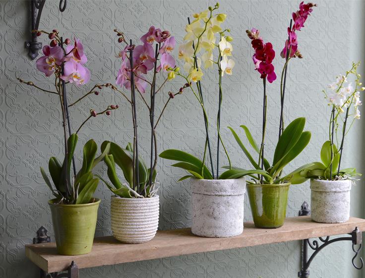 E Far Fiorire Le Orchidee